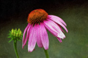 Cone Flower Prints - Passages impasto Print by Steve Harrington