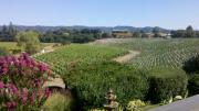 Sonoma County Vineyards. Prints - Passalacqua Vinyards at harvest Print by Shane Rockey