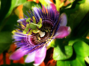 Passiflora Prints - Passiflora Print by Angel H Juarbe