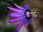 Passion Flower Photos - Passiflora Caerulea 2 by Melanie Moraga