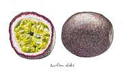 Passiflora Drawings Posters - Passiflora Edulis Fruit Poster by Steve Asbell