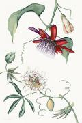 Passiflora Paintings - Passiflora Quadrangulais and Cerule - TH26 by Tobias Hodson