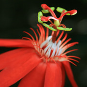 Passiflora Vitifolia - Scarlet Red Passion Flower Print by Sharon Mau