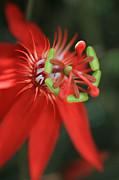 Passiflora Vitifolia Scarlet Red Passion Flower Print by Sharon Mau