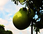 Passionfruit Metal Prints - Passion Metal Print by Charles  Jennison
