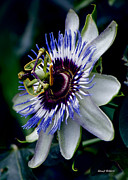 Stephen  Johnson - Passion Flower Bloom