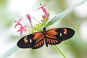 Passion Flower Photos - Passion Flower Butterfly by Jacky Parker