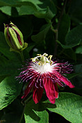 Passion Fruit Framed Prints - Passion Flower Framed Print by Eva Kaufman
