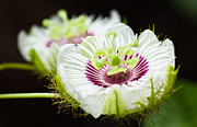 Passion Fruit Framed Prints - Passion flower Framed Print by Johan Larson