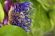  Large Format Prints - Passion Flower Print by Joseph Placheril