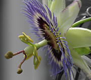 Extreme Floral Images - Passion flower by Kathy Dahmen