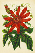 Passion Framed Prints - Passion Flower Framed Print by Sheila Terry