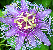 Passiflora Digital Art Prints - Passion Flower Print by Sheri McLeroy