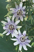 Passiflora Photo Posters - Passion Flowers Poster by Archie Young