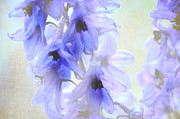 Delphinium Photos - Passion for Flowers. blue Dreams by Jenny Rainbow