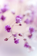 Purple Petals Prints - Passion for Flowers. Purple Pearls of Gypsophila Print by Jenny Rainbow