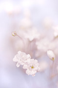 D300 Prints - Passion for Flowers. White Pearls of Gypsophila Print by Jenny Rainbow