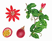 Passion Fruit Paintings - Passion Fruit Botanical by Joel Carlson