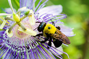 Passion Fruit Framed Prints - Passion Fruit Flower and Bee Framed Print by Mike Shaw