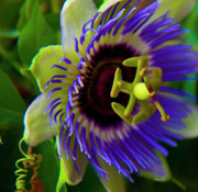 Passion Fruit Photo Prints - Passion-Fruit Flower Print by Betsy A Cutler East Coast Barrier Islands