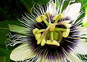 Molokai Art - Passion Fruit Flower by James Temple
