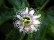 Passion Fruit Prints - Passion Fruit Flower Print by Robert Jenner