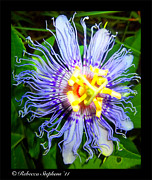 Passion Fruit Prints - Passion Fruit Print by Rebecca  Stephens