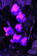 Passionate Blooms Print by Karol  Livote