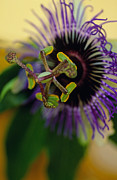 Passiflora Art - PASSIONate Flower by Kathy Yates