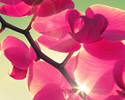 Orchid Photo Prints - Passionato Print by Amy Tyler