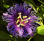 Passionflower Framed Prints - Passionflower Framed Print by David Lee Thompson