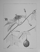 Passion Fruit Drawings Metal Prints - Passionflower Vine Metal Print by Daniel Reed