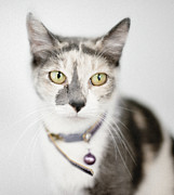 Sitting Photos - Pastel Calico Cat With Large Yellow Eyes by Roz Todaro