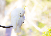 White Cockatoo Photos - Pastel cockatoo by Sheila Smart