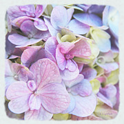 Purple Hydrangeas Prints - Pastel Hydrangeas - Square Print by Kerri Ligatich