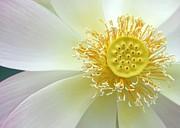 Sabrina L Ryan - Pastel Lotus too