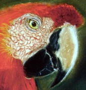 Macaw Pastels - Pastel of Red on the Head  by Antonia Citrino