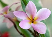 Lei Photos - Pastel Pink Plumeria by Sabrina L Ryan