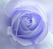 Rain Drop Framed Prints - Pastel Purple Rose Flower Framed Print by Jennie Marie Schell