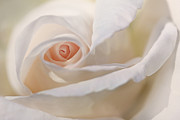 Peach Rose Prints - Pastel Rose Flower Macro Print by Jennie Marie Schell