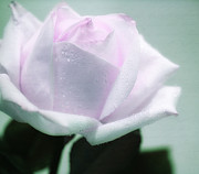 White Rose Photos - Pastel Rose by Kristin Kreet