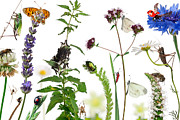 Spider Flower Posters - Pastoral Composition Of Insects Poster by Life On White