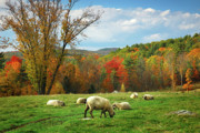 New Hampshire Fall Foliage Framed Prints - Pasture - New England Fall Landscape sheep Framed Print by Jon Holiday
