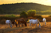 Animal Prints - Pasturing horses Print by Carlos Caetano