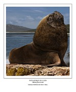 Sea Lion Digital Art - Patagonian Sea Lion Bull by Owen Bell