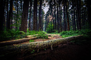 Pine Photos - Path in the Pines by Everet Regal