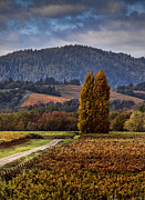 Painted Image Posters - Path Leading To Two Large Trees In Vineyard Poster by Bob Cornelis