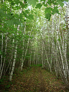 Pamela Turner - Path of Birches