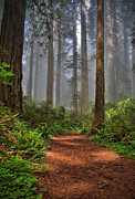 Redwoods Posters - Path Thru the Redwoods Poster by Michael  Ayers