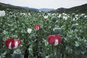 Poppy Fields Posters - Pathan Opium Poppy Papaver Somniferum Poster by Steve Raymer